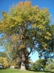 The oldest ash in Olbrich Park