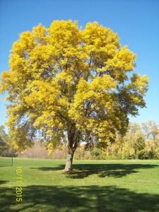 Treated ash tree in OB Sherry Park