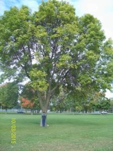 Ash tree in Olbrich Park